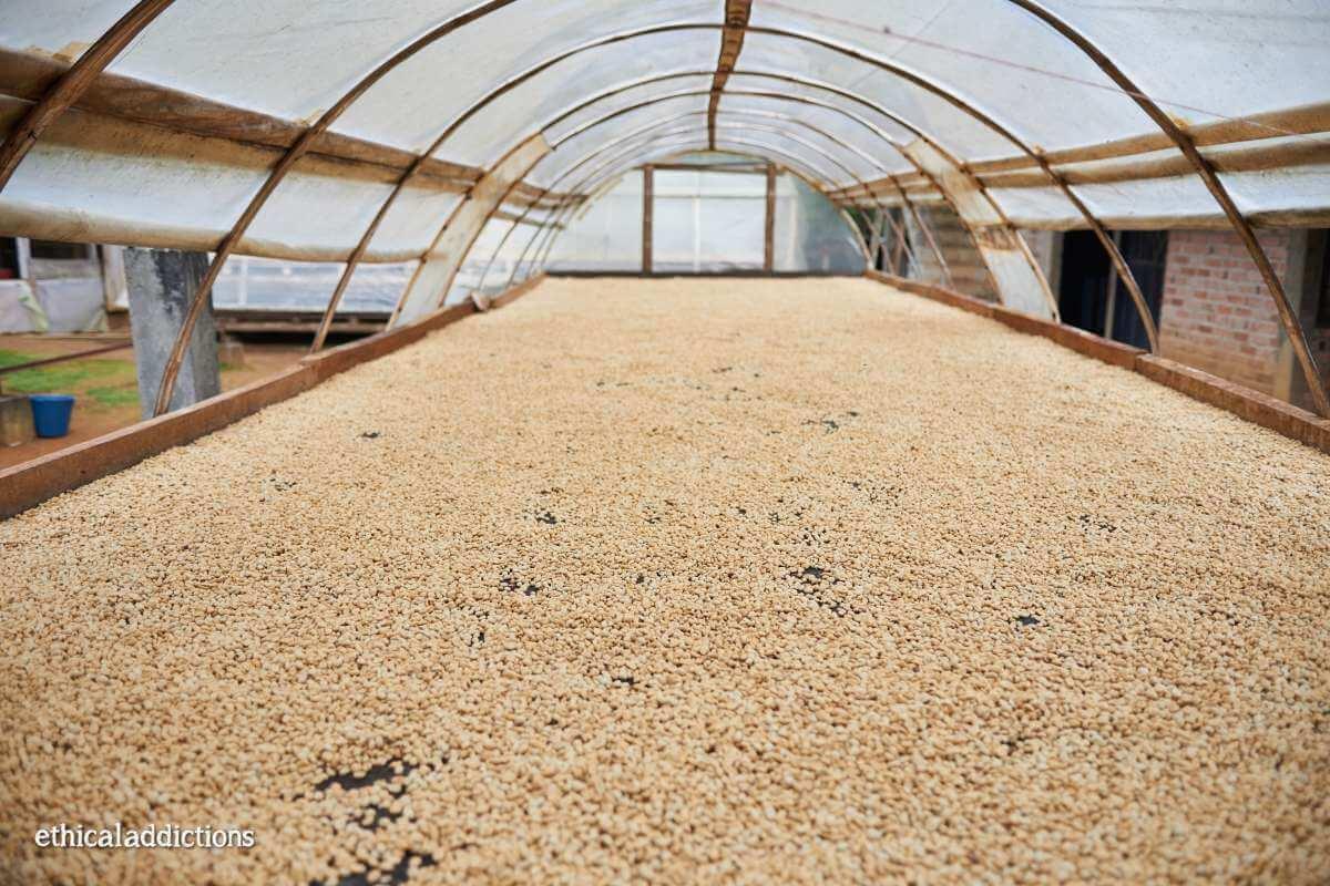 Colombian coffee companies drying table